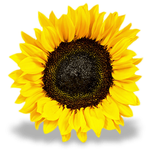 Sunflower Graphic